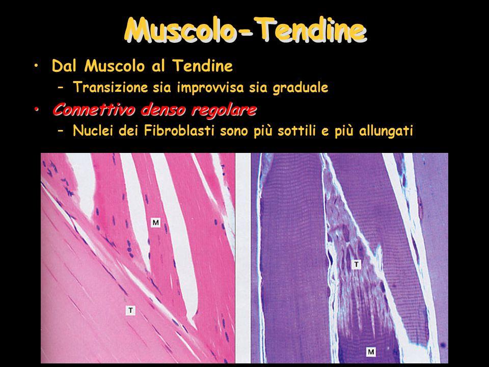 Muscolo-Tendine Dal Muscolo al Tendine Connettivo denso regolare