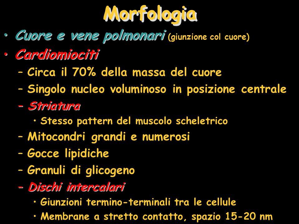 Morfologia Cuore e vene polmonari (giunzione col cuore) Cardiomiociti