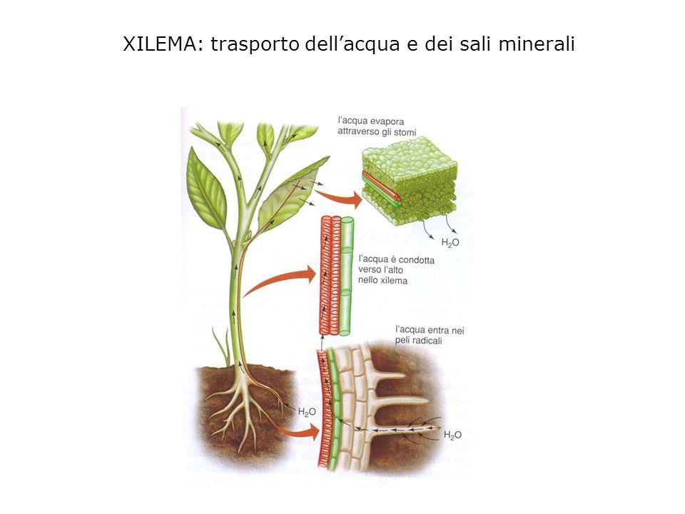 XILEMA: trasporto dell'acqua e dei sali minerali