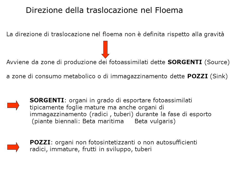 Direzione della traslocazione nel Floema