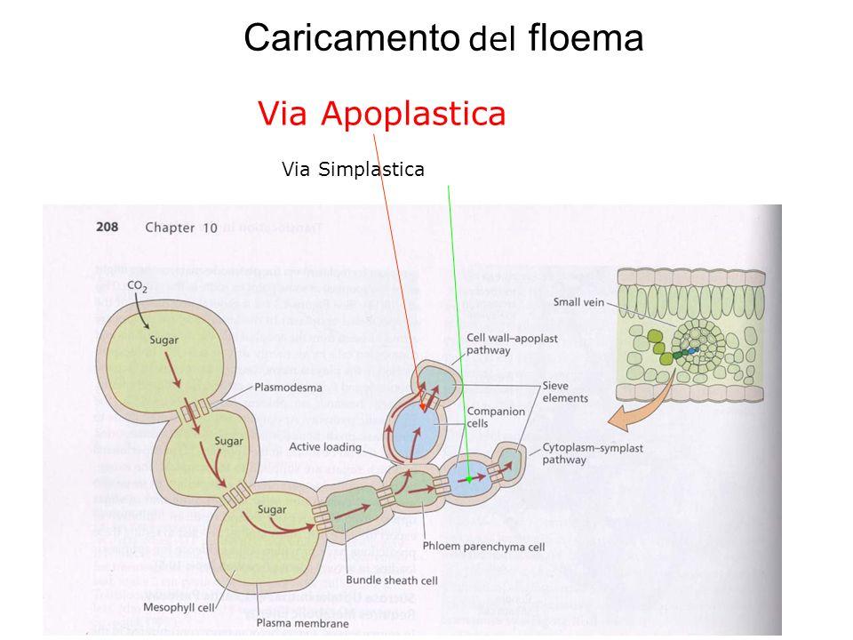 Caricamento del floema