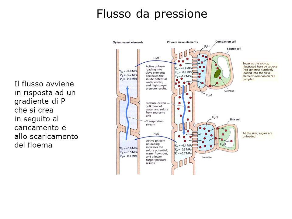 Flusso da pressione Il flusso avviene in risposta ad un gradiente di P