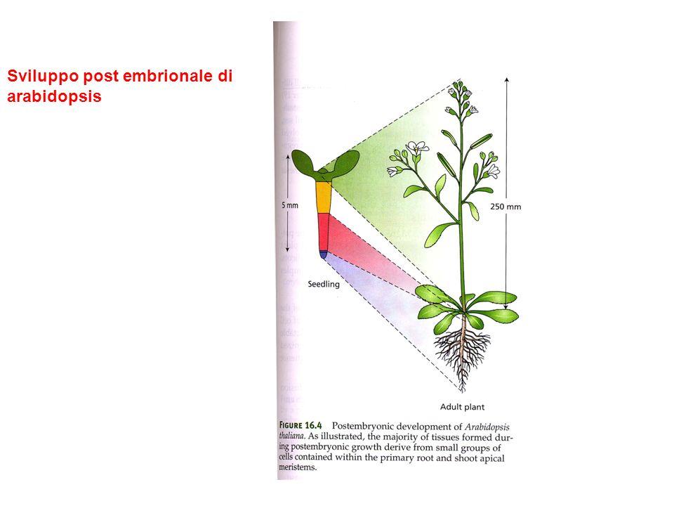 Sviluppo post embrionale di