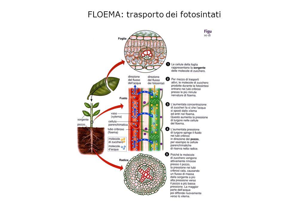 FLOEMA: trasporto dei fotosintati