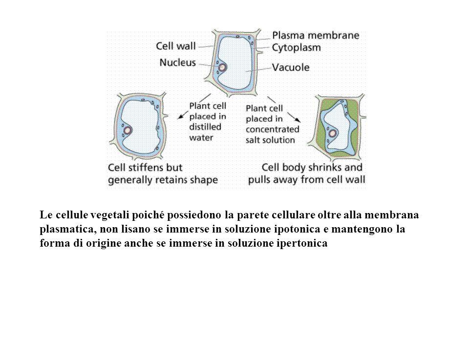 Le cellule vegetali poiché possiedono la parete cellulare oltre alla membrana plasmatica, non lisano se immerse in soluzione ipotonica e mantengono la forma di origine anche se immerse in soluzione ipertonica