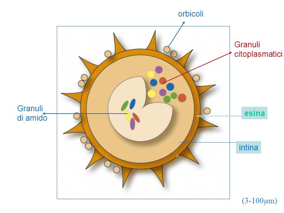 orbicoli Granuli citoplasmatici Granuli di amido esina intina (3-100µm)