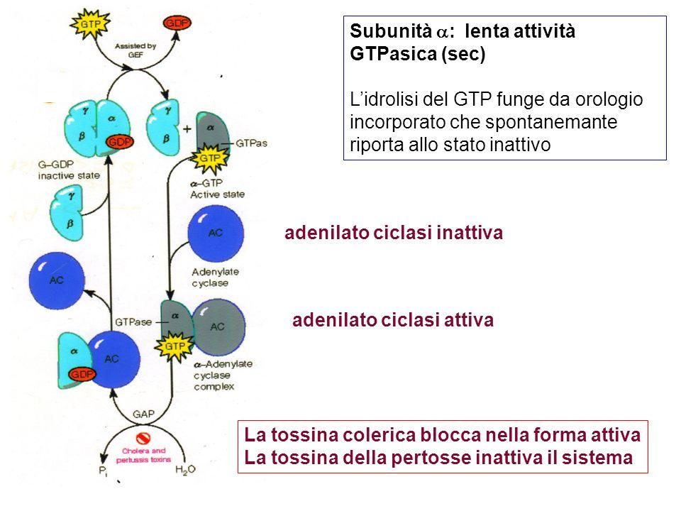 Subunità : lenta attività GTPasica (sec)