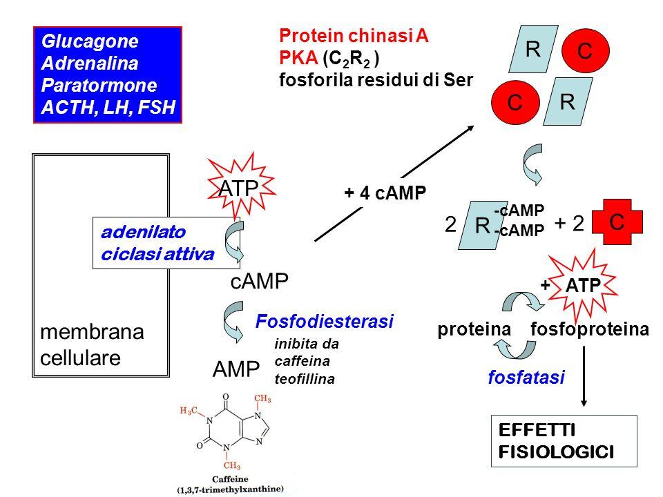 R C ATP C R 2 + 2 membrana cellulare cAMP AMP Protein chinasi A