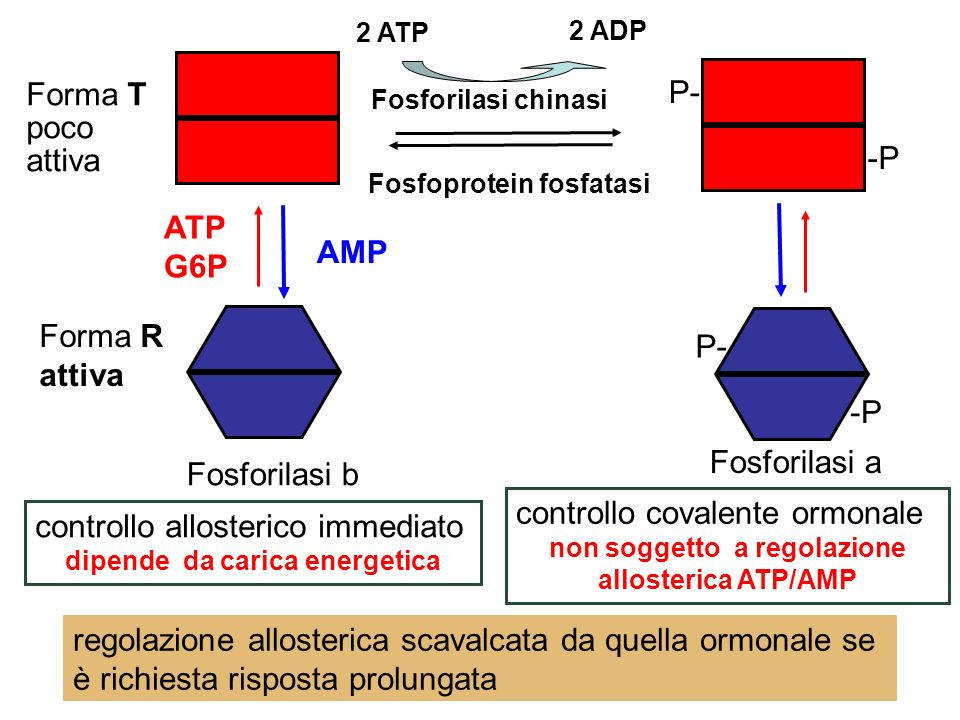 controllo covalente ormonale controllo allosterico immediato