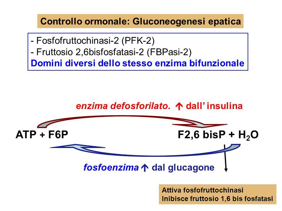 ATP + F6P F2,6 bisP + H2O Controllo ormonale: Gluconeogenesi epatica