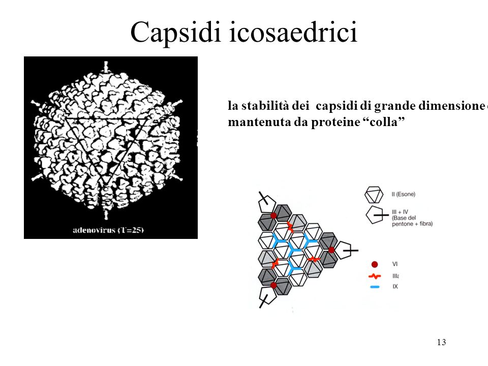 Capsidi icosaedrici la stabilità dei capsidi di grande dimensione è mantenuta da proteine colla