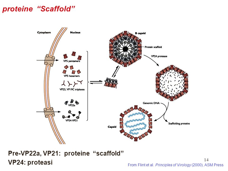 proteine Scaffold Pre-VP22a, VP21: proteine scaffold