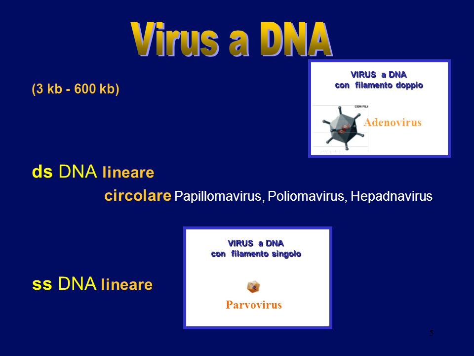 Virus a DNA ds DNA lineare ss DNA lineare