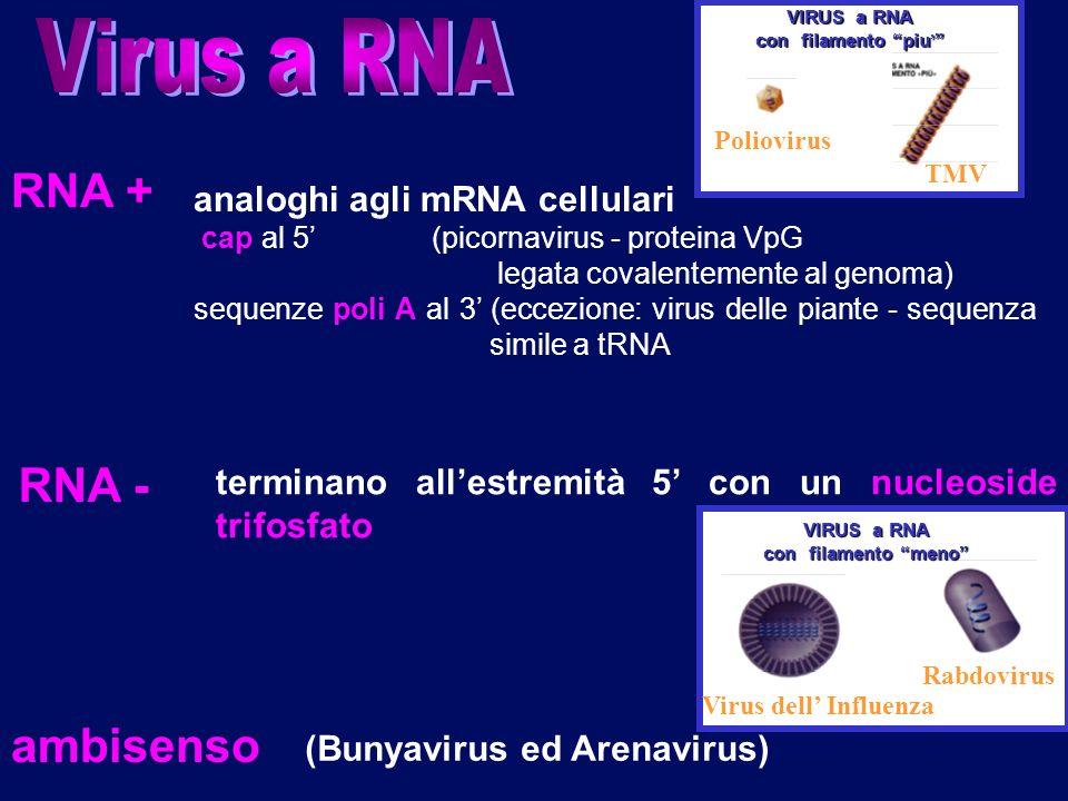 Virus a RNA RNA + RNA - ambisenso analoghi agli mRNA cellulari
