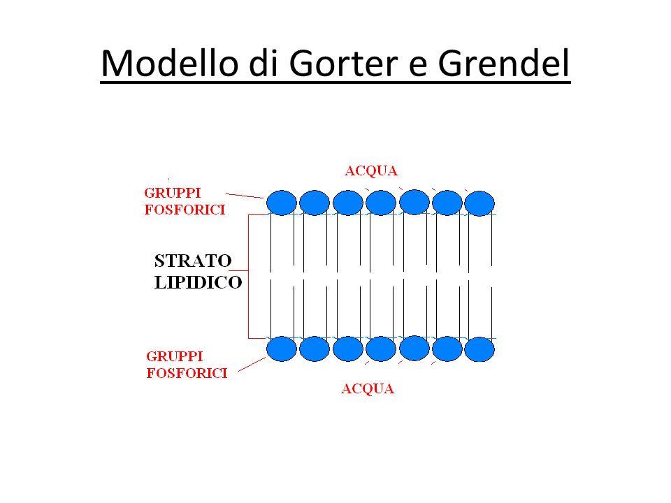 Modello di Gorter e Grendel