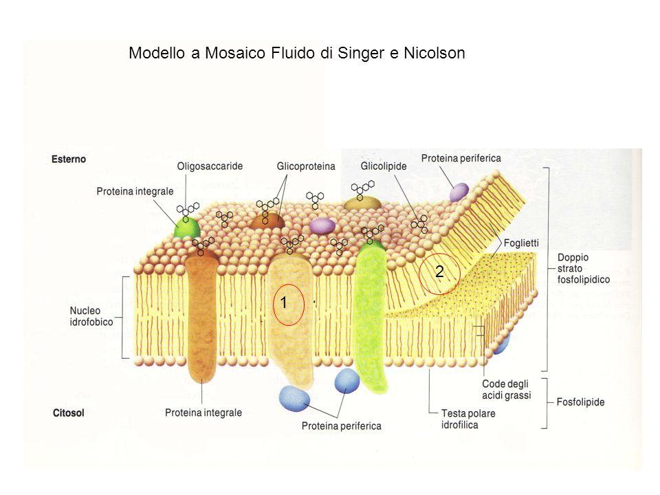 Modello a Mosaico Fluido di Singer e Nicolson