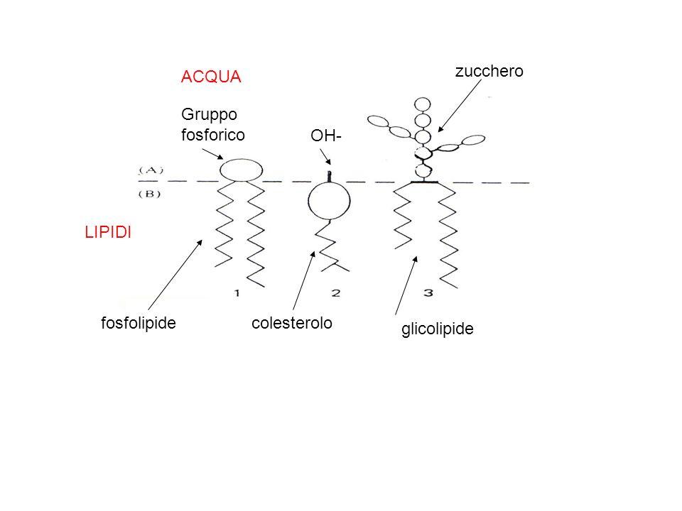 zucchero ACQUA Gruppo fosforico OH- LIPIDI fosfolipide colesterolo glicolipide