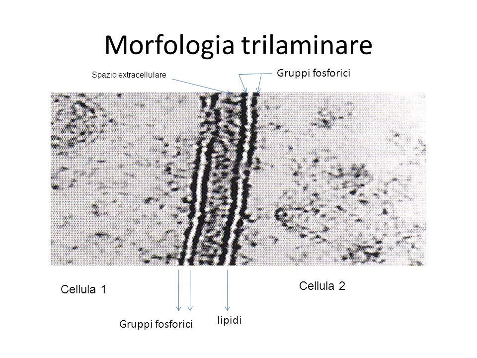 Morfologia trilaminare