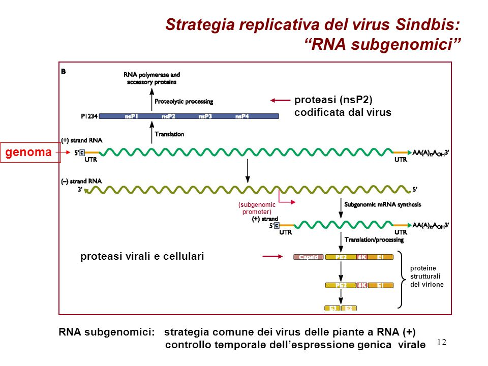 Strategia replicativa del virus Sindbis: RNA subgenomici