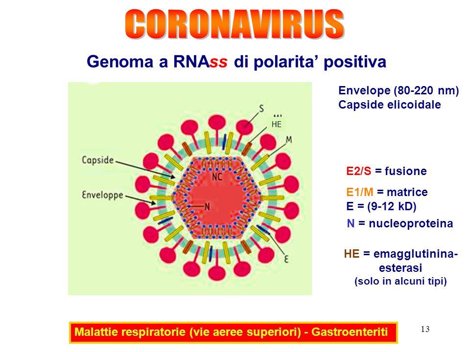 CORONAVIRUS Genoma a RNAss di polarita' positiva Envelope (80-220 nm)