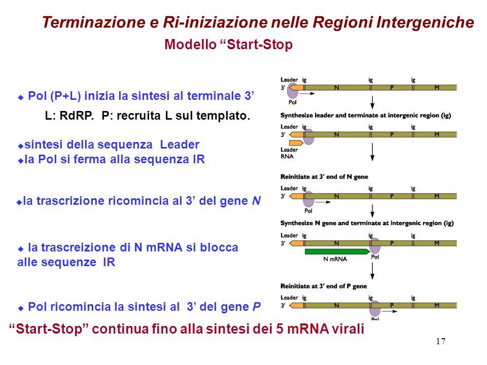 Terminazione e Ri-iniziazione nelle Regioni Intergeniche