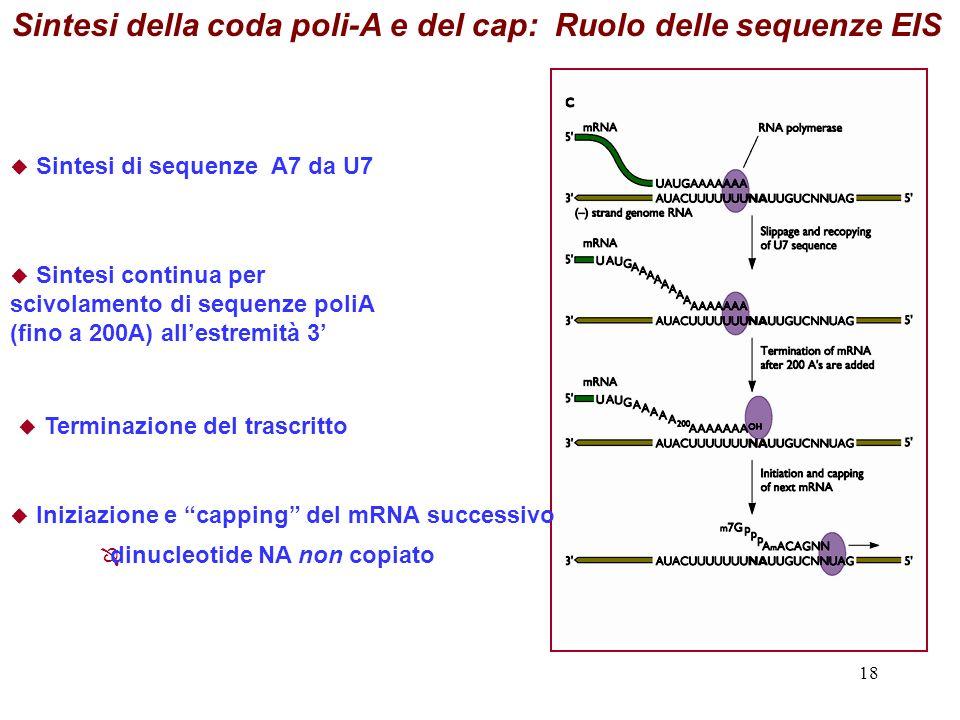 Sintesi della coda poli-A e del cap: Ruolo delle sequenze EIS