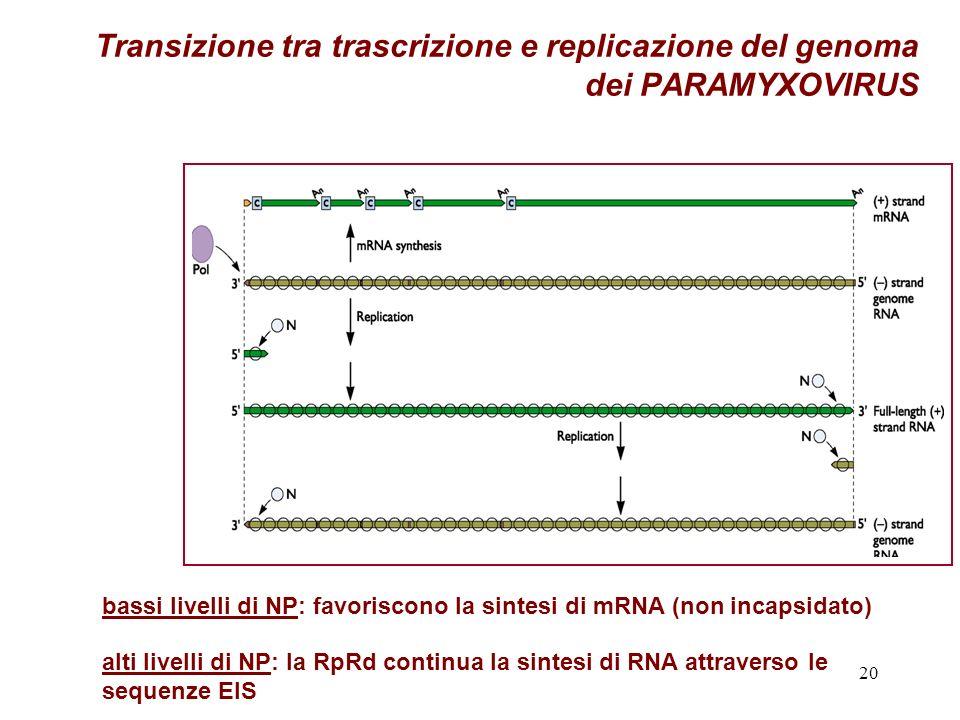 Transizione tra trascrizione e replicazione del genoma dei PARAMYXOVIRUS