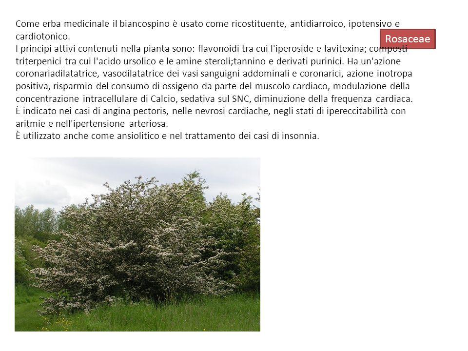 Come erba medicinale il biancospino è usato come ricostituente, antidiarroico, ipotensivo e cardiotonico.
