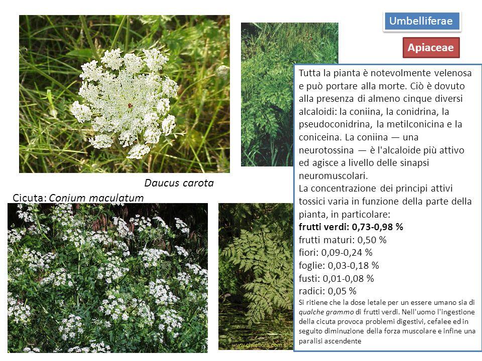 Cicuta: Conium maculatum