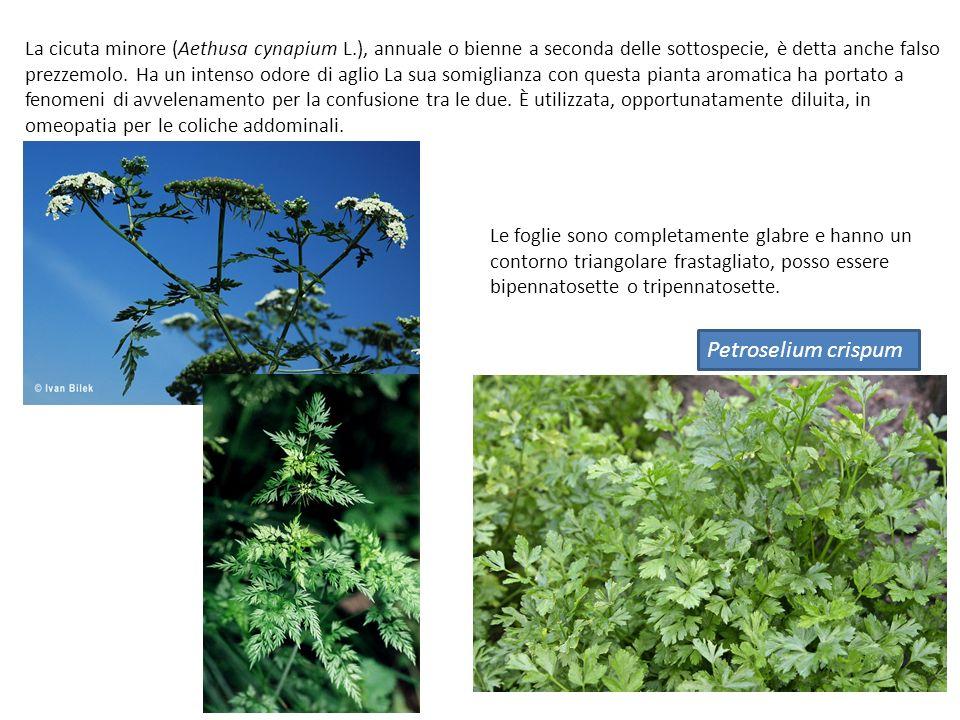 La cicuta minore (Aethusa cynapium L