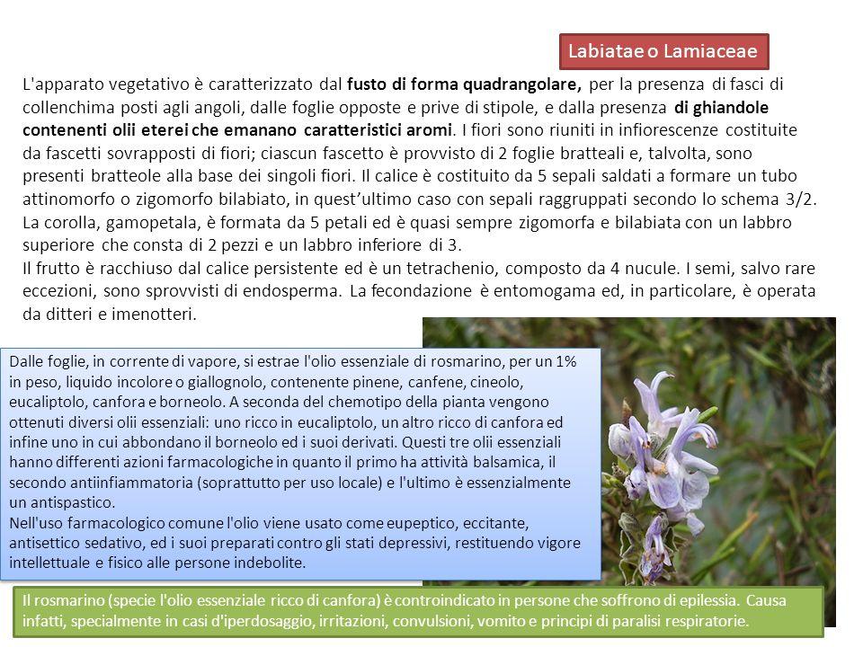 Labiatae o Lamiaceae
