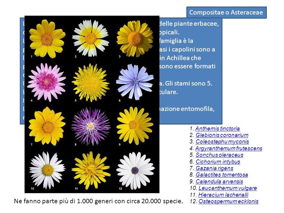 Compositae o Asteraceae