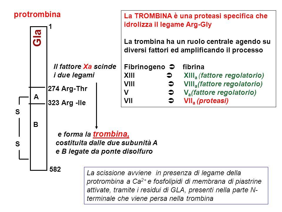 protrombina 582. A. B. 323 Arg -Ile. 274 Arg-Thr. S. Gla. Il fattore Xa scinde i due legami.
