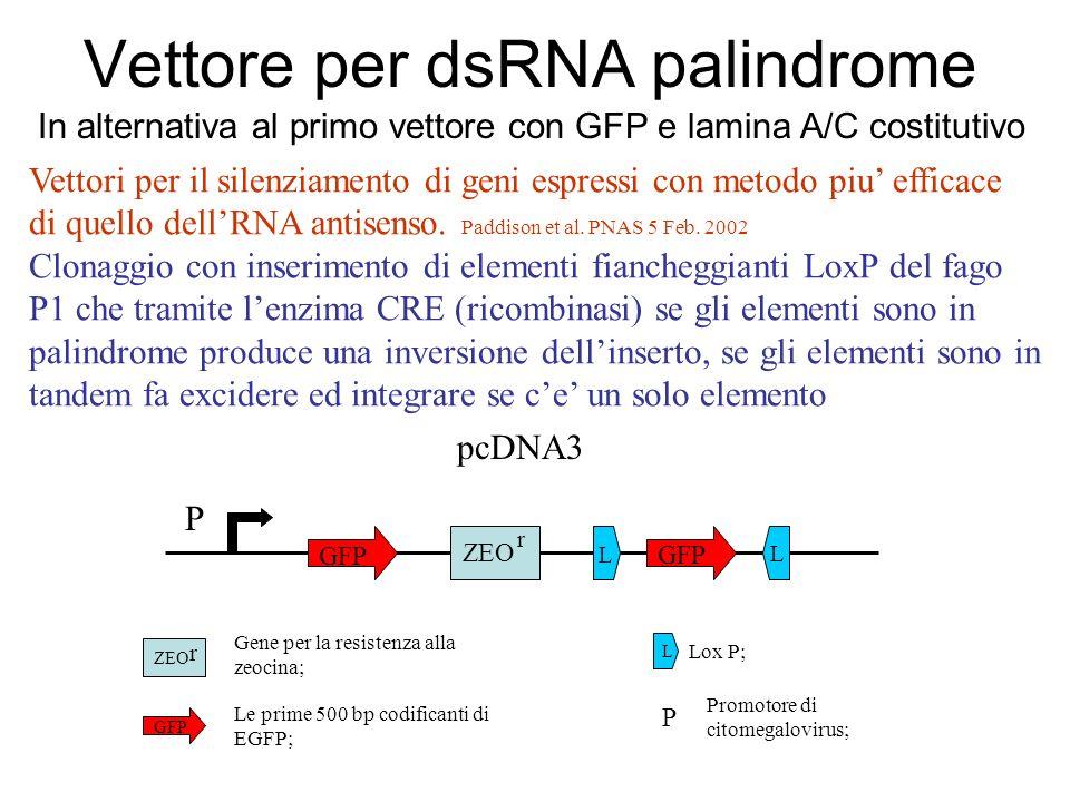 Vettore per dsRNA palindrome
