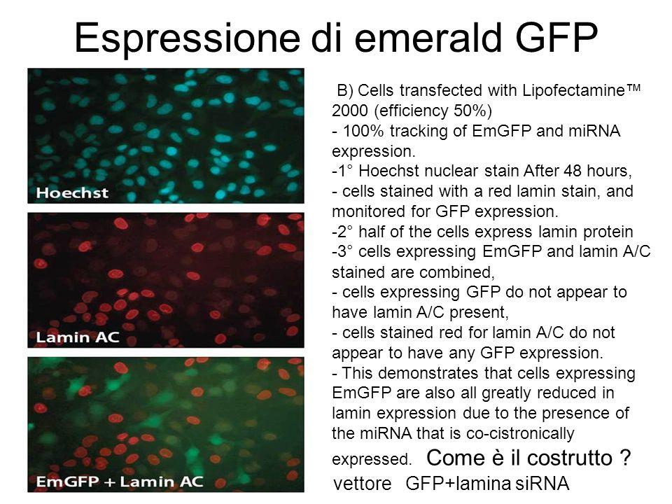 Espressione di emerald GFP