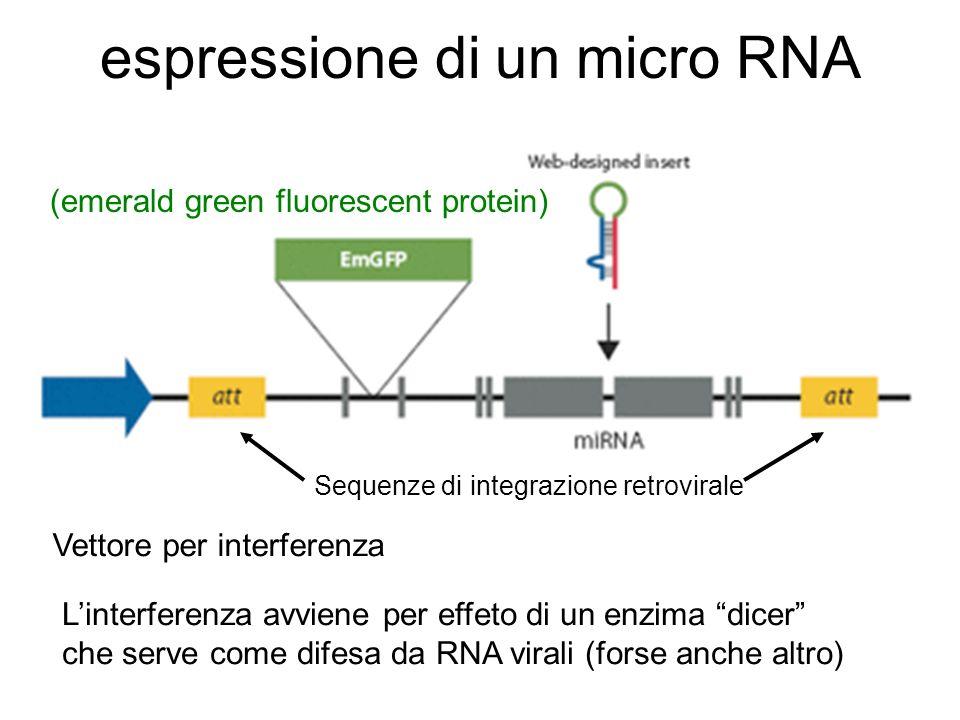 espressione di un micro RNA