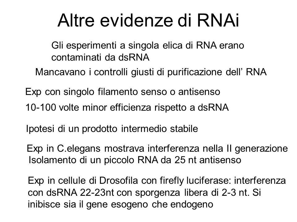 Altre evidenze di RNAi Gli esperimenti a singola elica di RNA erano contaminati da dsRNA. Mancavano i controlli giusti di purificazione dell' RNA.