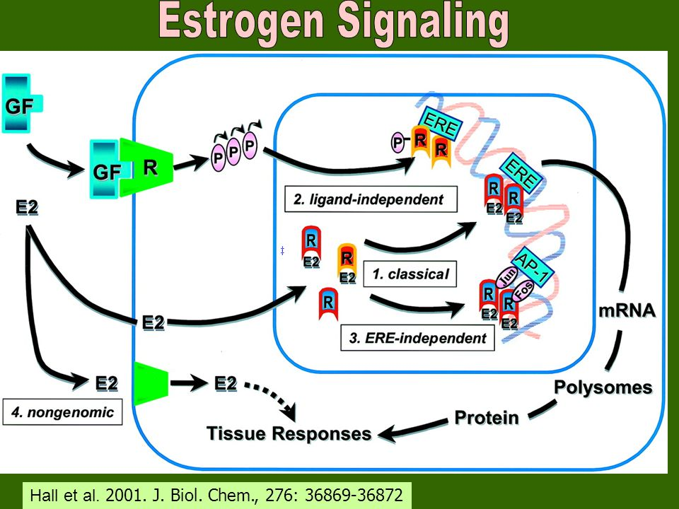 Estrogen Signaling Hall et al. 2001. J. Biol. Chem., 276: 36869-36872