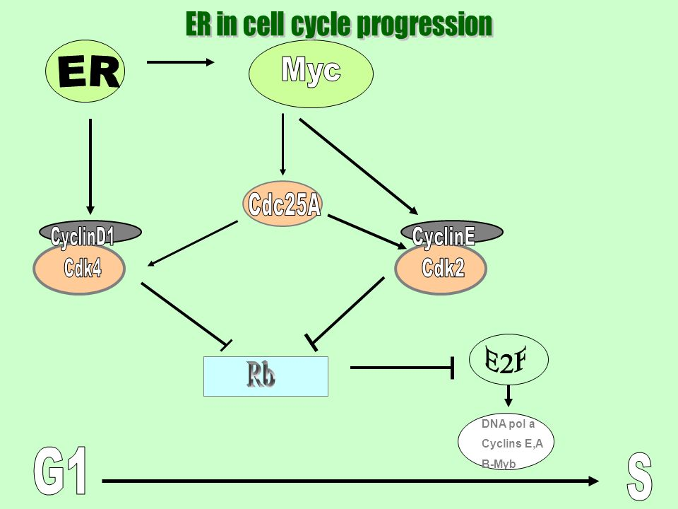 ER in cell cycle progression
