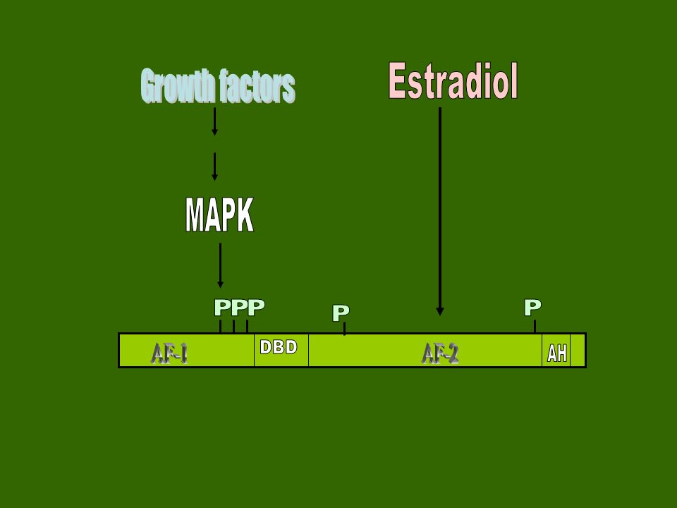 Estradiol Growth factors MAPK P P P P P DBD AF-1 AF-2 AH