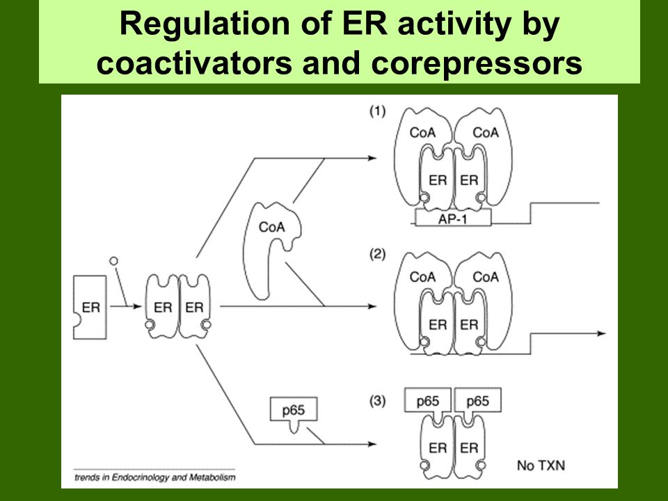 Regulation of ER activity by coactivators and corepressors