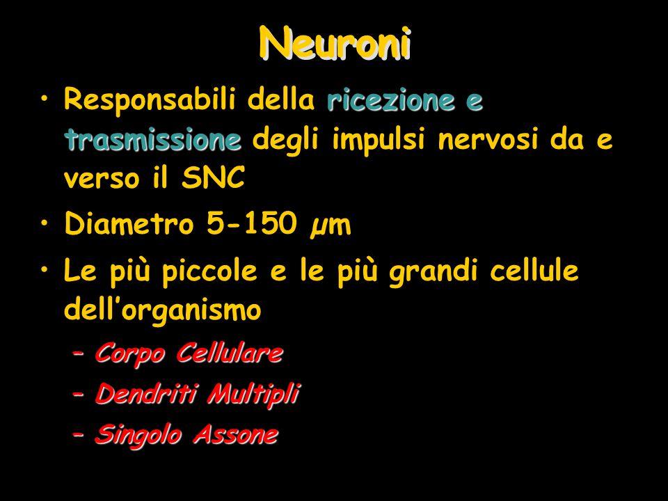 Neuroni Responsabili della ricezione e trasmissione degli impulsi nervosi da e verso il SNC. Diametro 5-150 µm.