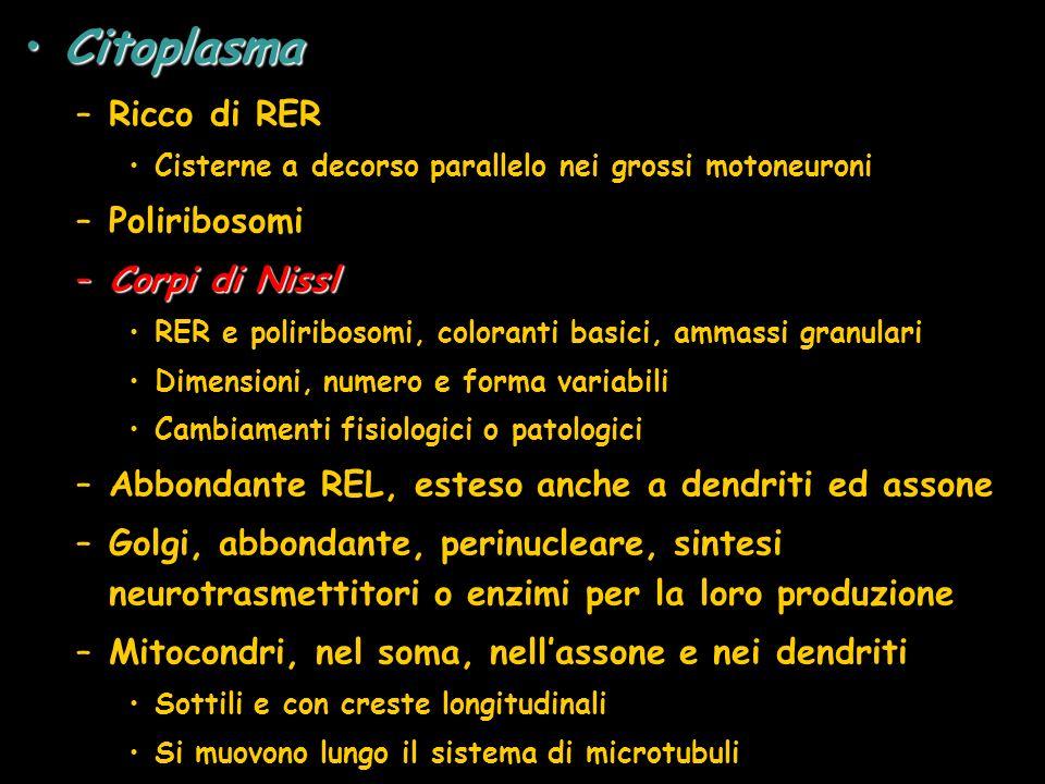 Citoplasma Ricco di RER Poliribosomi Corpi di Nissl