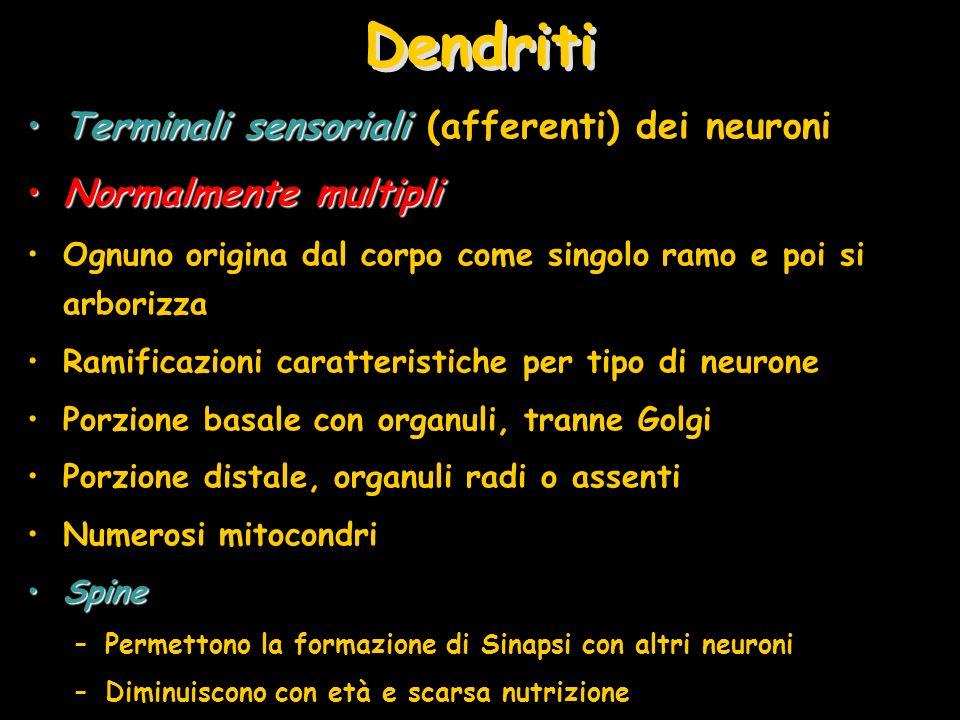 Dendriti Terminali sensoriali (afferenti) dei neuroni