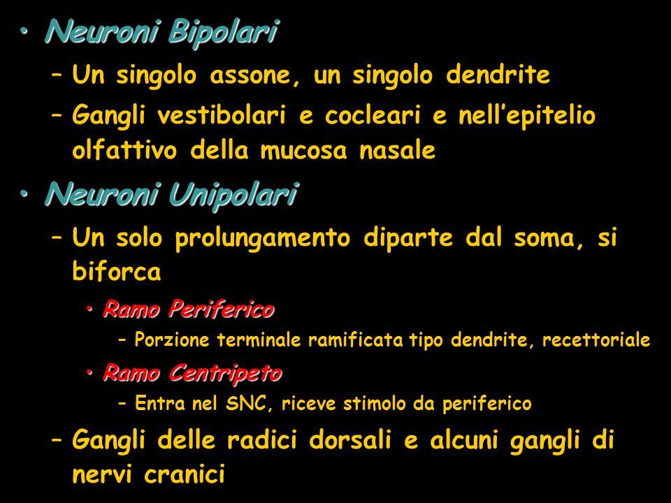 Neuroni Bipolari Neuroni Unipolari