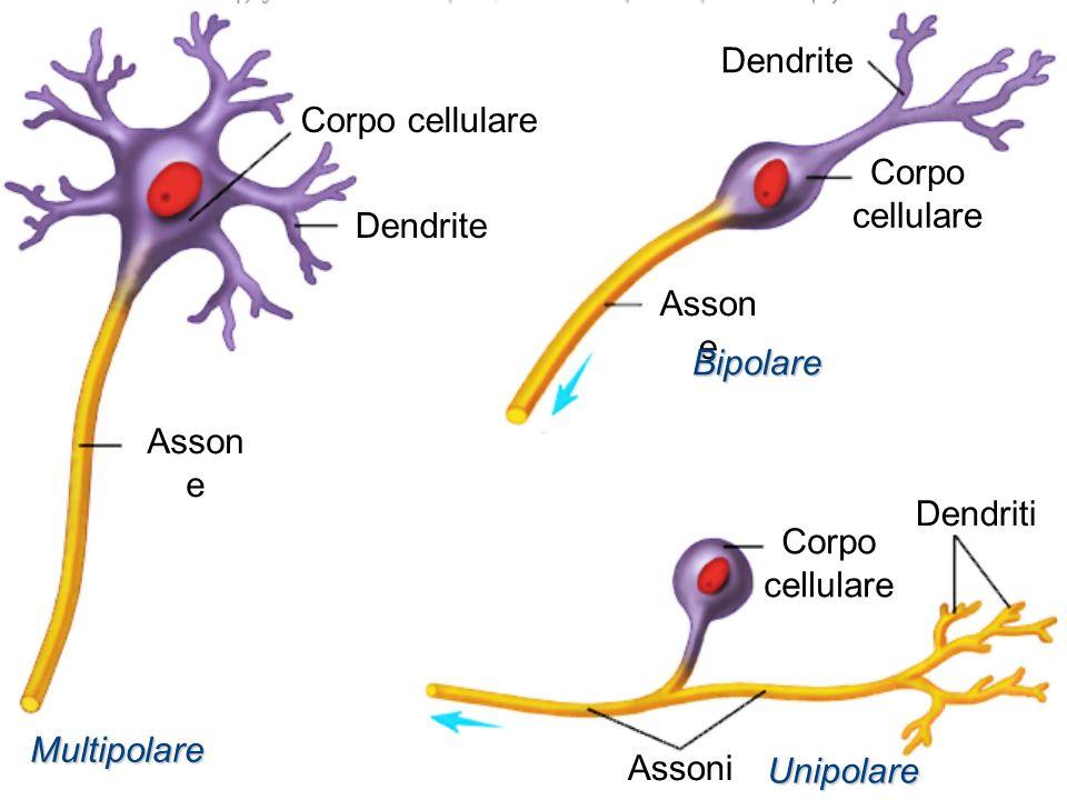 Dendrite Corpo cellulare. Corpo cellulare. Dendrite. Assone. Bipolare. Assone. Dendriti. Corpo cellulare.