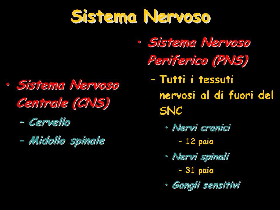 Sistema Nervoso Sistema Nervoso Periferico (PNS)