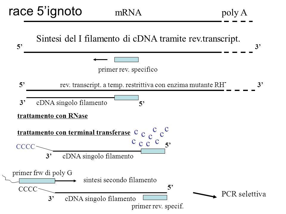 race 5'ignoto mRNA poly A