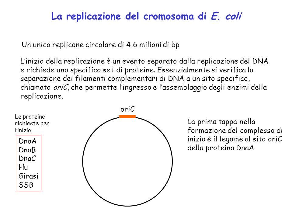 La replicazione del cromosoma di E. coli