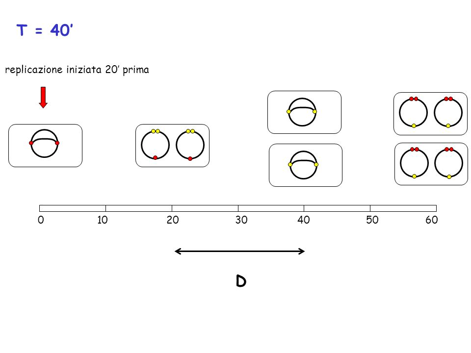 T = 40' replicazione iniziata 20' prima.